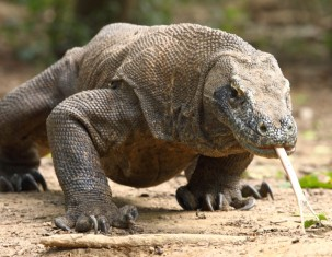 Photo of Komodo