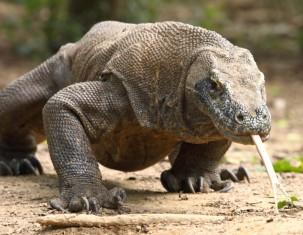 Photo of Komodo